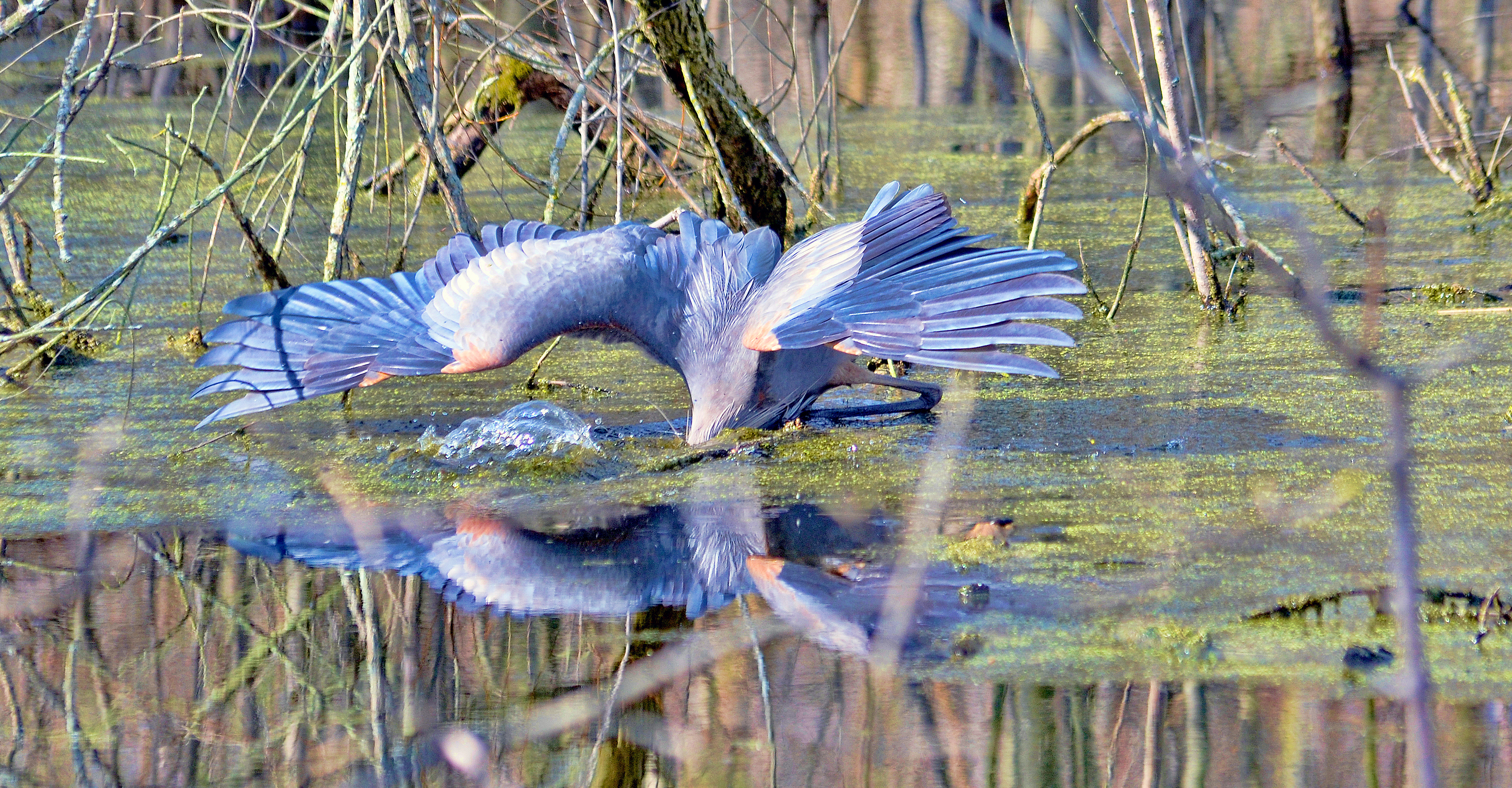 Great Blue Heron gone fishing<br />Yes, this Great Blue Heron is fishing at the Ottawa National Wildlife Refuge. The Great Blue Heron, America's largest heron, is a master at catching fish. (Photo by Maggi Dandar)
