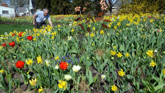 Mike Jones works among the tulips, hyacinths, daffodils, crocus, allium and more at the corner of Navarre and Wheeling. (Press photo by Ken Grosjean)