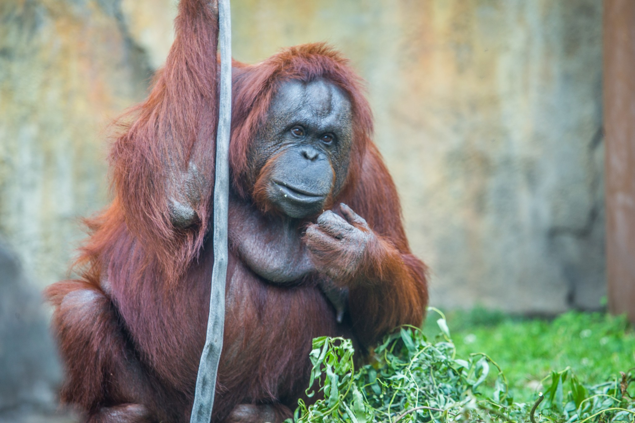 Celebrate Mother's Day at the Toledo Zoo by visiting Yaz, the orangutan (shown) and other animal moms including Kitani, the Gorilla and Renee, the African elephant. (Photo courtesy of the Toledo Zoo)