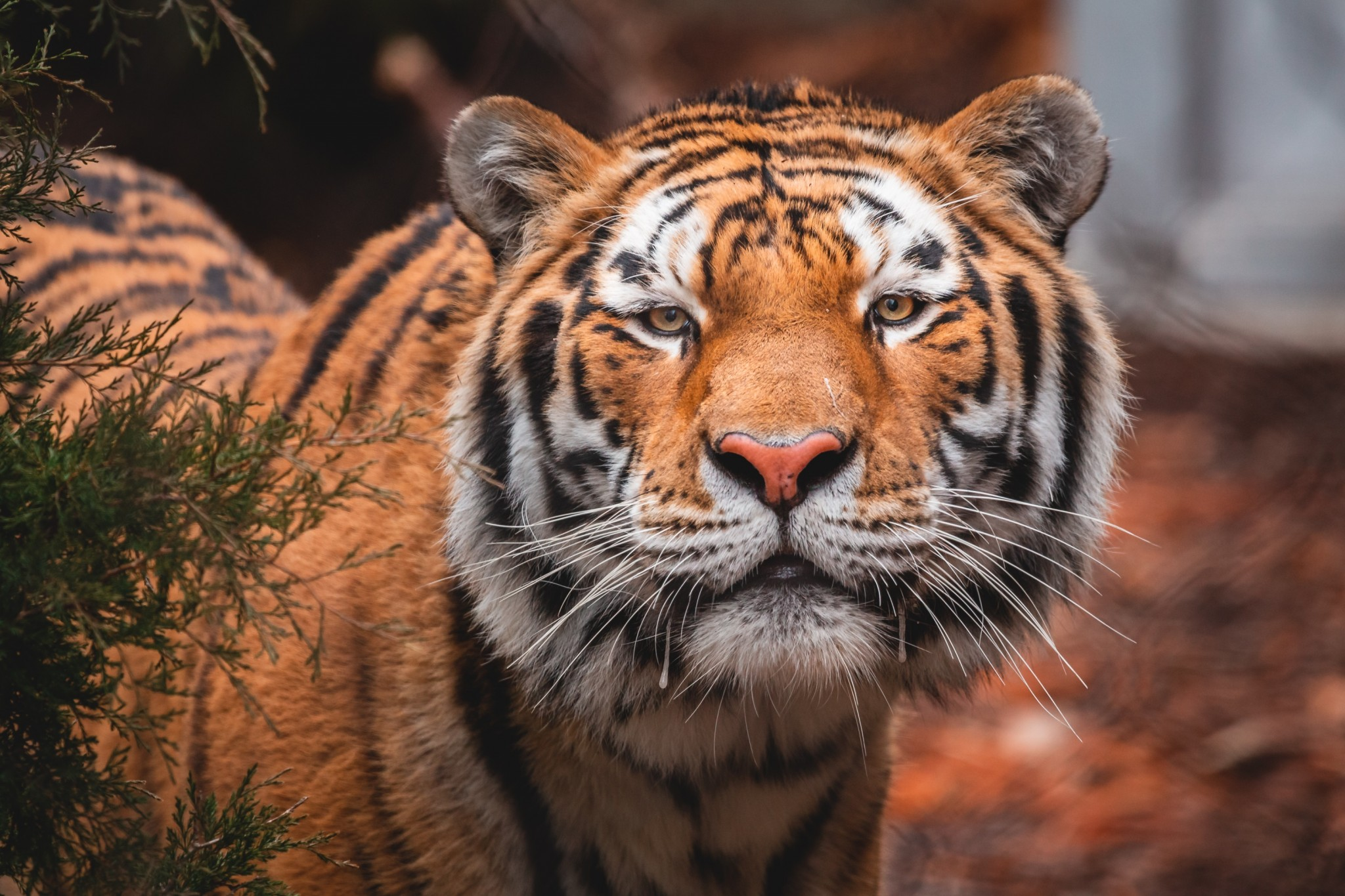 Titan, a 3-1/2-year-old male Amur tiger, is the newest resident at Toledo Zoo's Tiger Terrace.  (Photo courtesy of the Toledo Zoo)