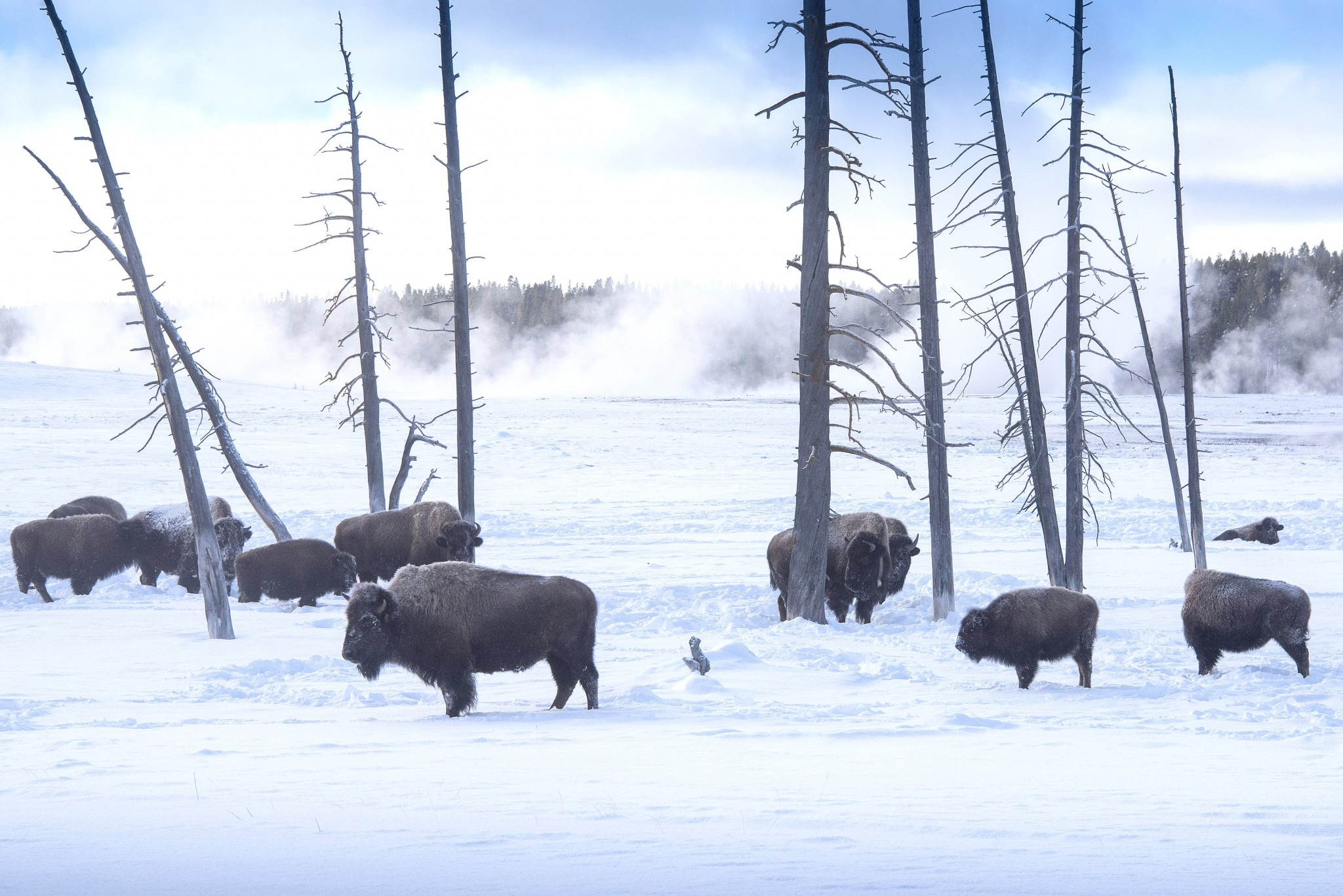 A small herd of bison gather in an open grove as Yellowstone's Midway Geyser Basin sends up plumes of steam in the background. (Photo by Art Weber)