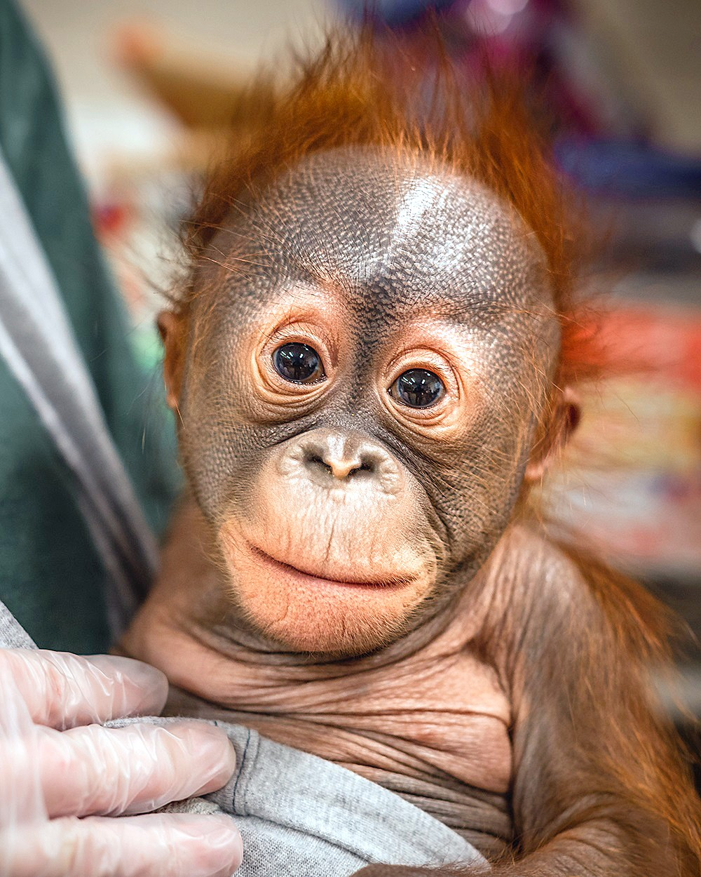For about six months, the Toledo Zoo animal care staff provided 24-hour-a-day care for new baby male baby orangutan, Fajar (fah-zhar), when complications arose after his birth on Oct. 12, 2019. Fajar has been successfully reunited with his mother, Leela. (Photo courtesy of the Toledo Zoo)