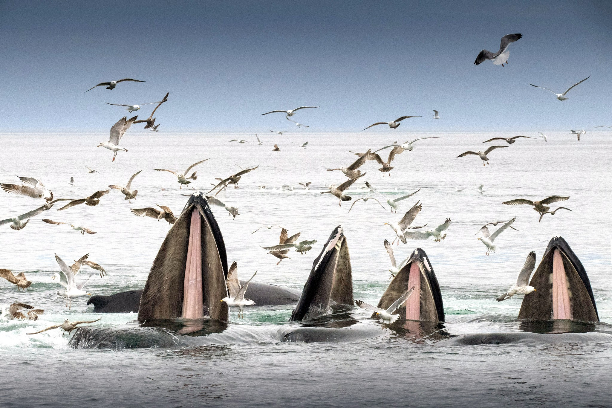 A pod of humpbacks rises to the surface at Stellwagen Bank National Marine Sanctuary at the mouth of Massachusetts Bay. They're teaming up in a feeding tactic called bubble feeding to concentrate and consume sand lance. (Photo by Art Weber)
