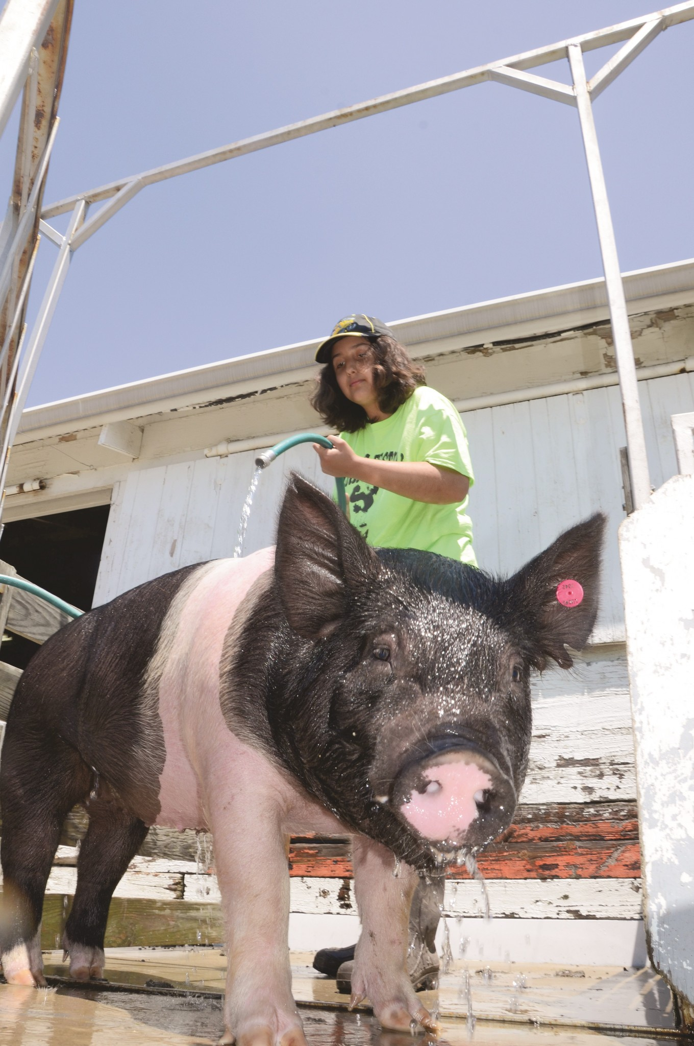 The 162nd Annual Lucas County Fair will be held July 13-19 at the county fairgrounds in Maumee in a modified format due to the COVID-19 pandemic. As always, 4H and FFA youths will be presenting their projects for exhibition and judging. Complete details and a full schedule are available on the fair website, lucascountyfair.com. (Press photo by Ken Grosjean)