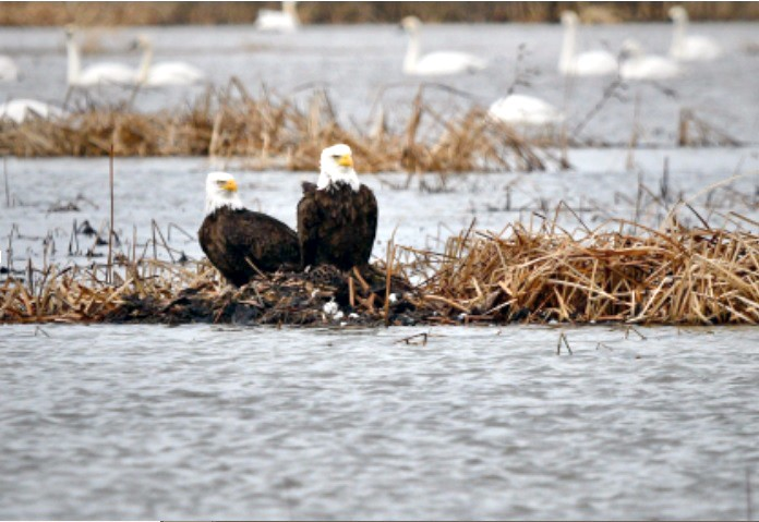 """A pair of bald eagles resting in the marsh in January 2021. Wildlife """"couples"""" can be seen frequently this time of the year as they prepare for spring. (Photo by Friends of Ottawa National Wildlife Refuge member Tajinder Singh)"""