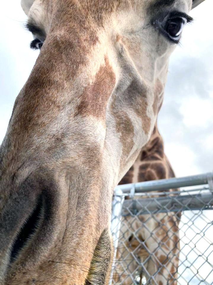 African Safari's new Giraffe Encounter Experience offers a unique, personal, and up-close experience with the tallest mammals on Earth. (African Safari Wildlife Park photo)