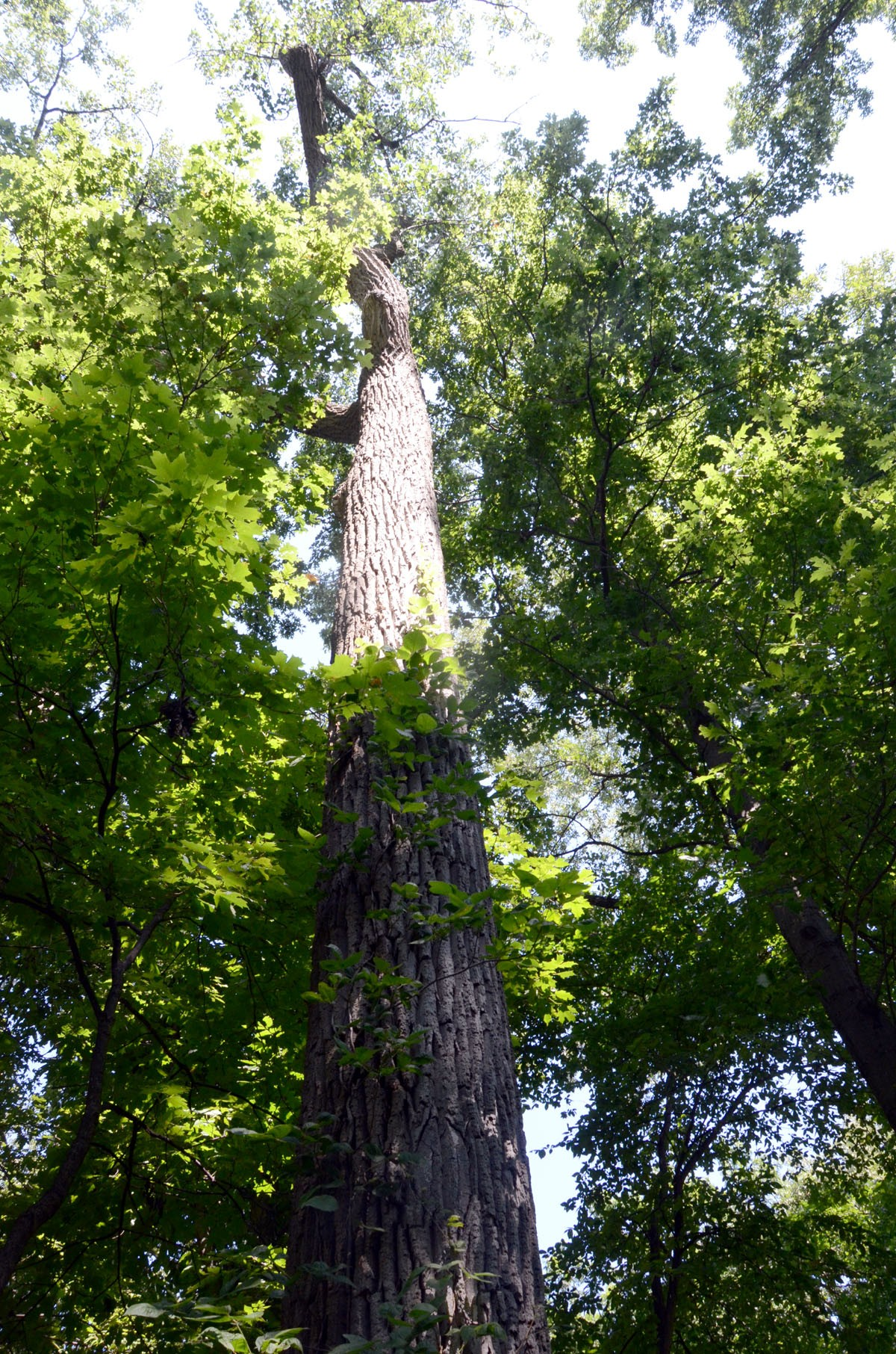 A towering old growth forest tree on property where the city wants to develop a proposed industrial park. (Press photo by Ken Grosjean)